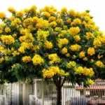 Cây giáng hương