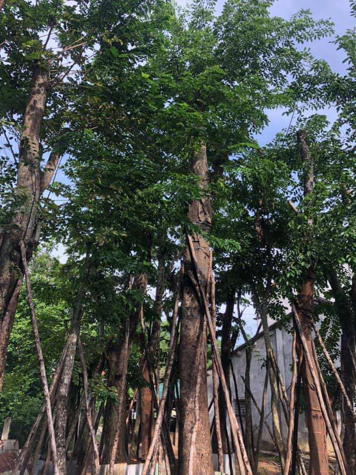 Thân cây cao