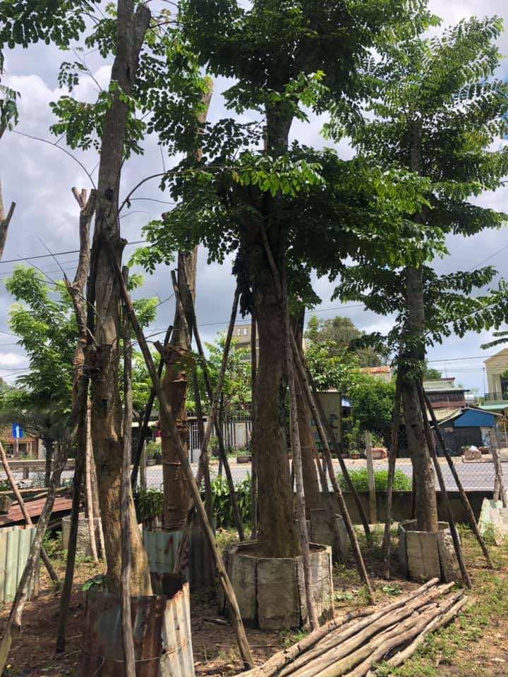 Thân cây thẳng