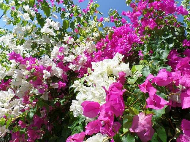 Hoa có nhiều màu