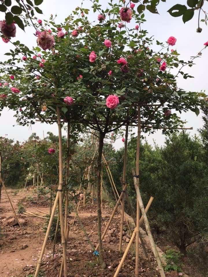 Hình dáng cây hoa hồng cổ sapa