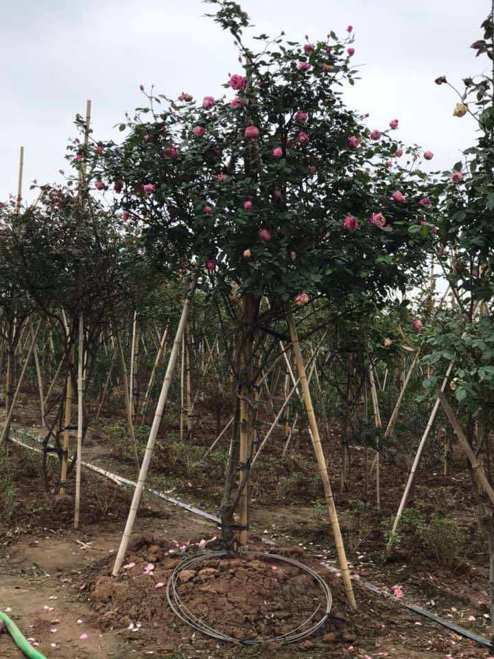 Cây được trồng nhiều thành bụi