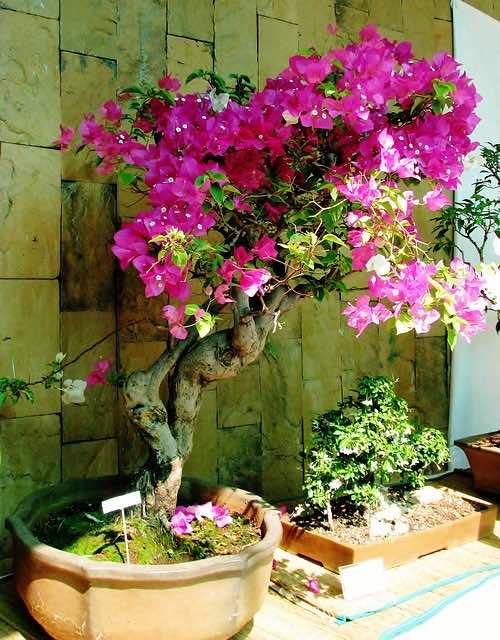 Cây dùng làm bonsai