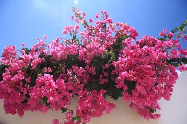 Hoa có cánh mỏng như tờ giấy