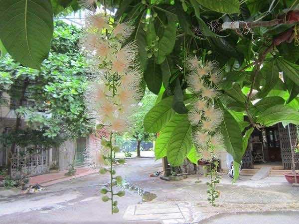 Lộc vừng hoa trắng