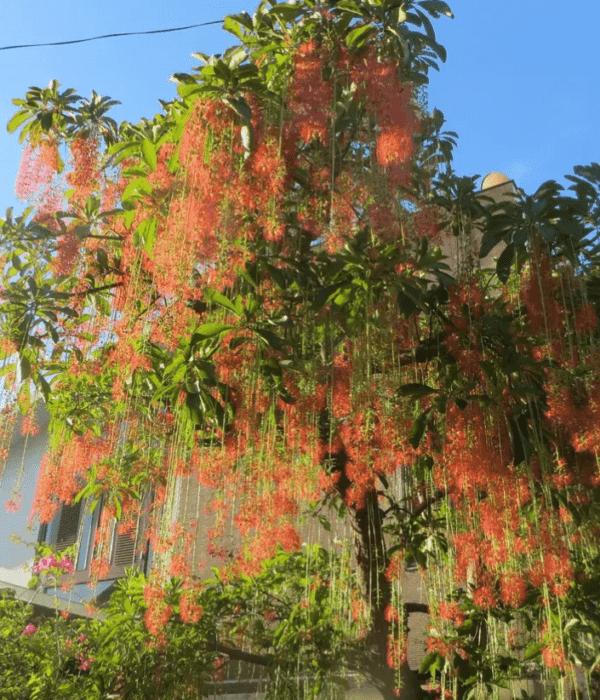 Lộc vừng hoa đỏ