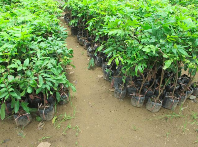 trồng cây nhãn