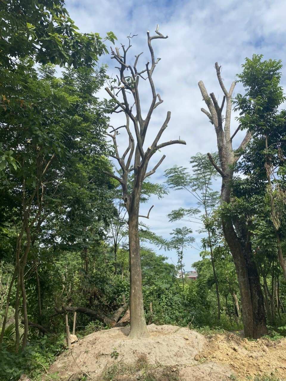 Bưởi thuộc cây thân gỗ