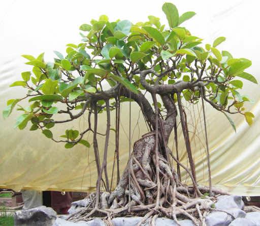 Cây đa bonsai đẹp