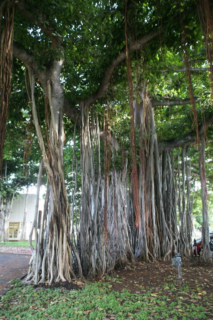 Cây đa là loại cây thân gỗ