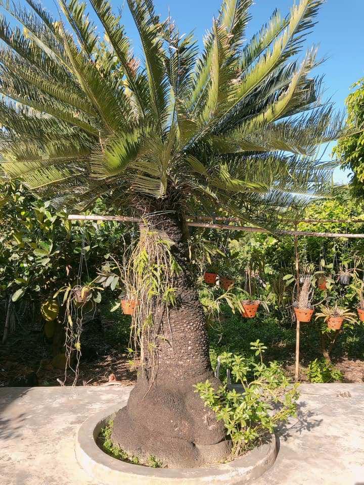 Thân cây vạn tuế