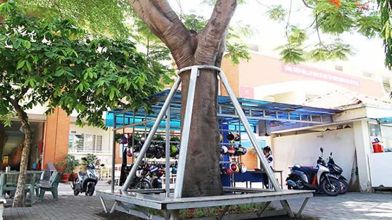 cây phượng trong trường học