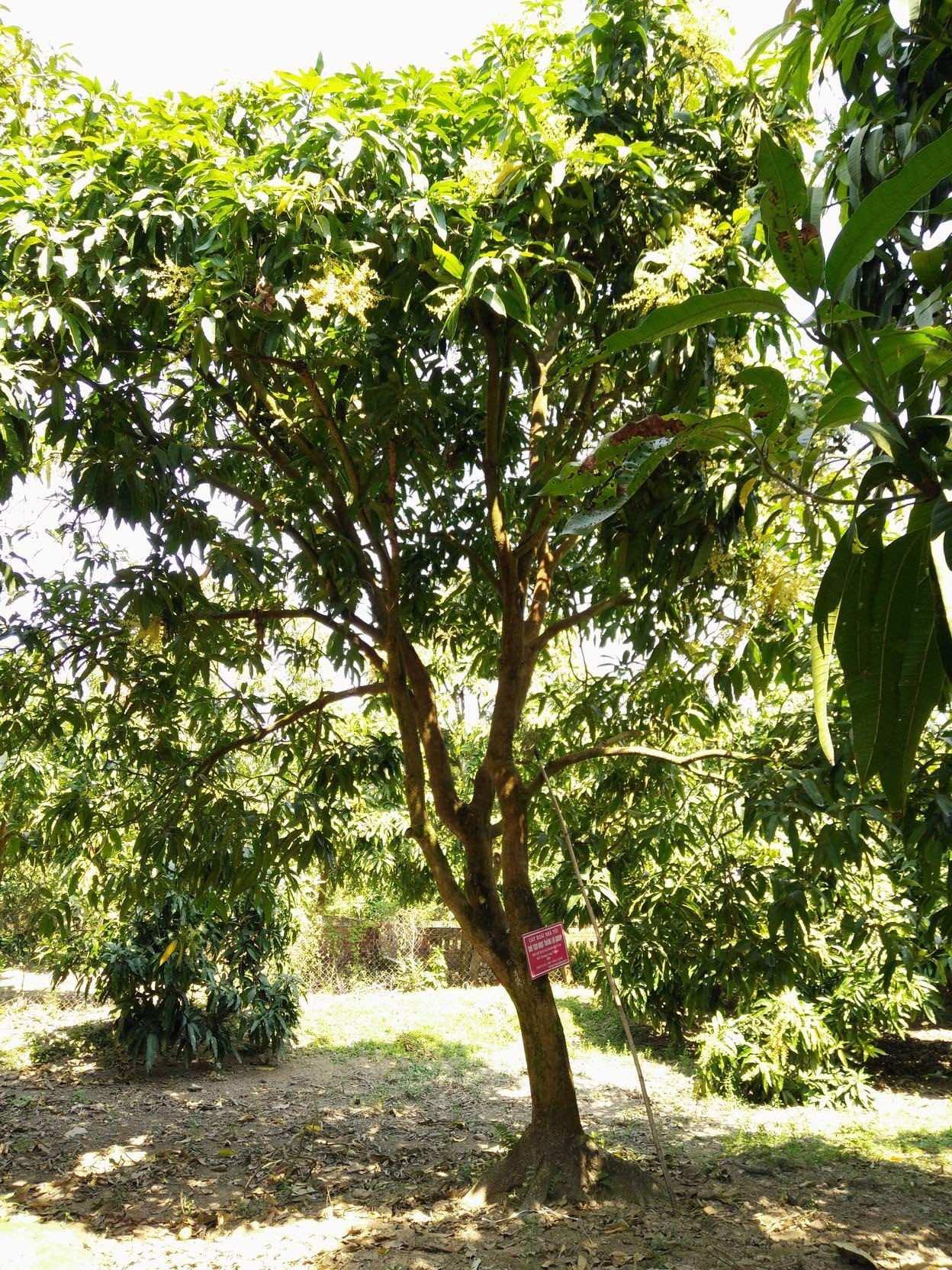 Tán cây xoài rộng, có thể trồng để lấy bóng mát