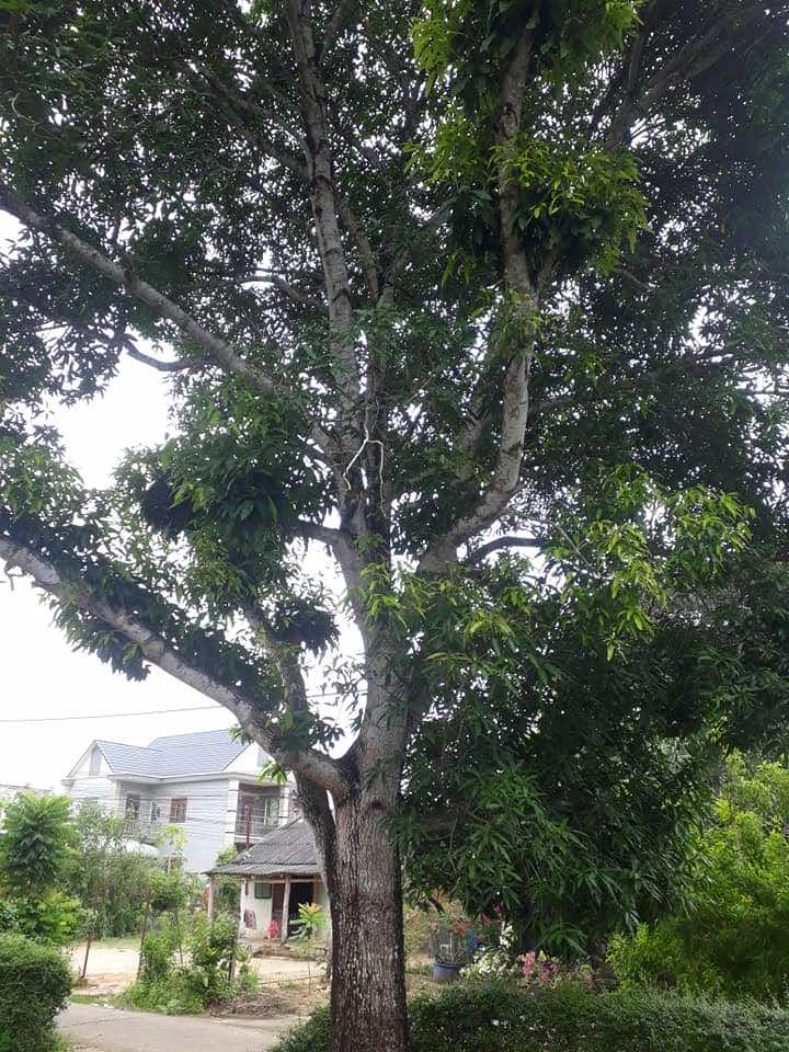 thân cây xoài