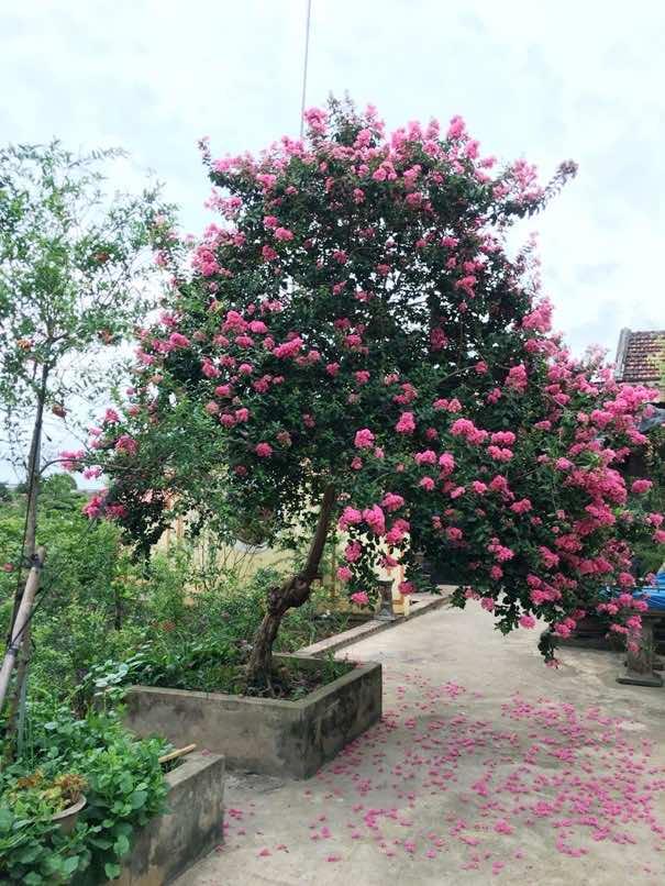 Đặc điểm sinh trưởng của cây hoa tường vi