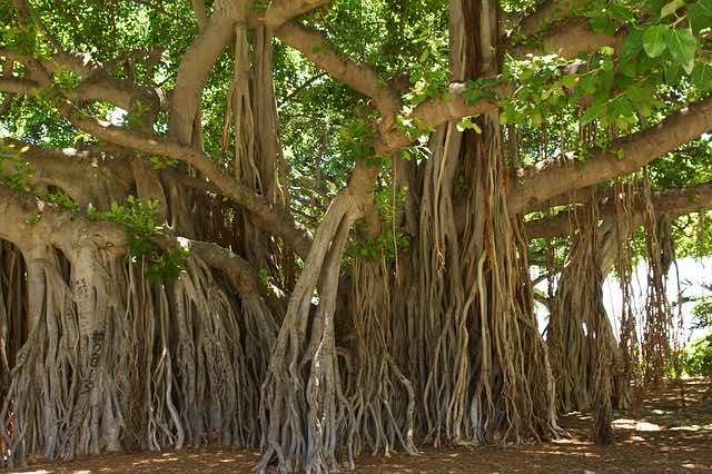 Rễ cây đa