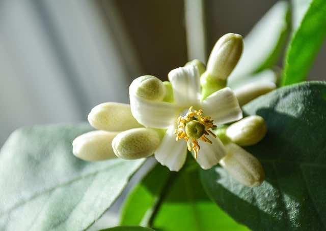 Hoa bưởi