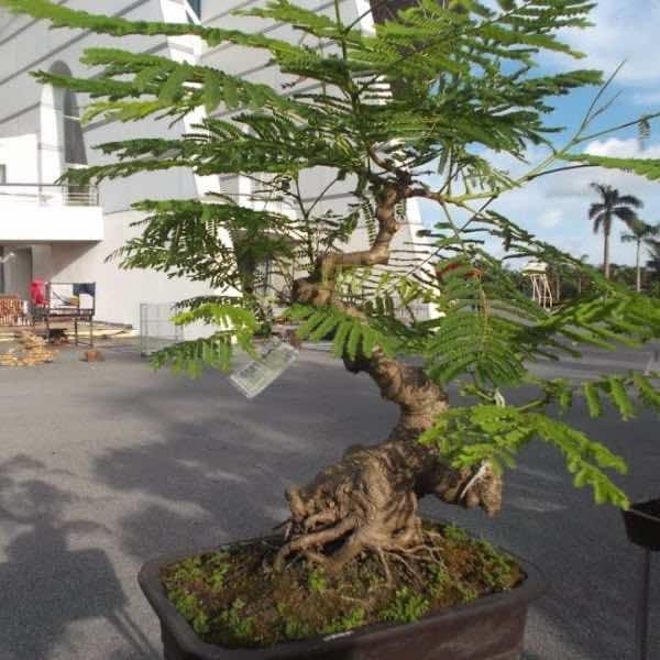 cây phượng bonsai