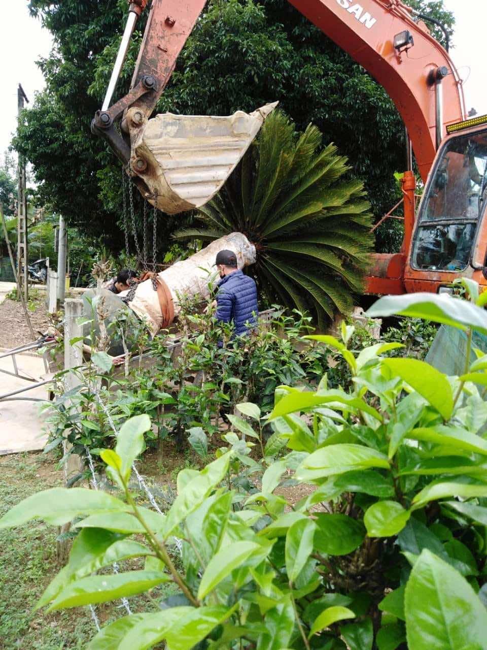 Chăm sóc cây vạn tuế