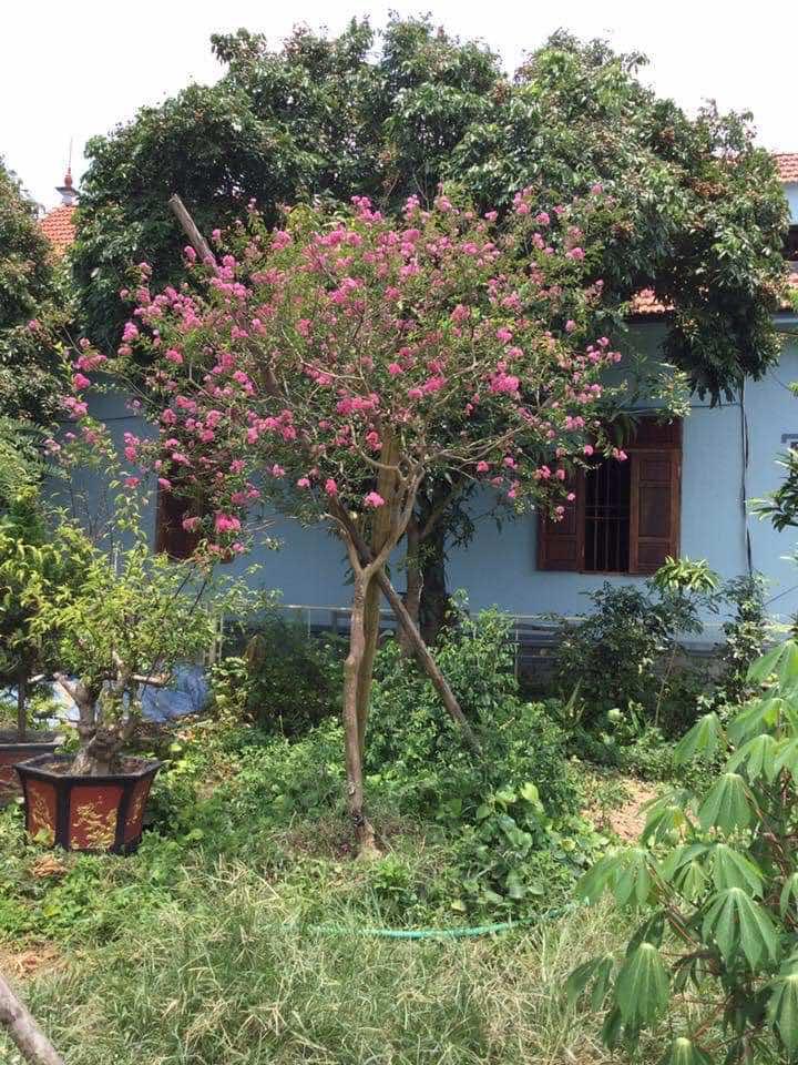 Cây tường vi hồng