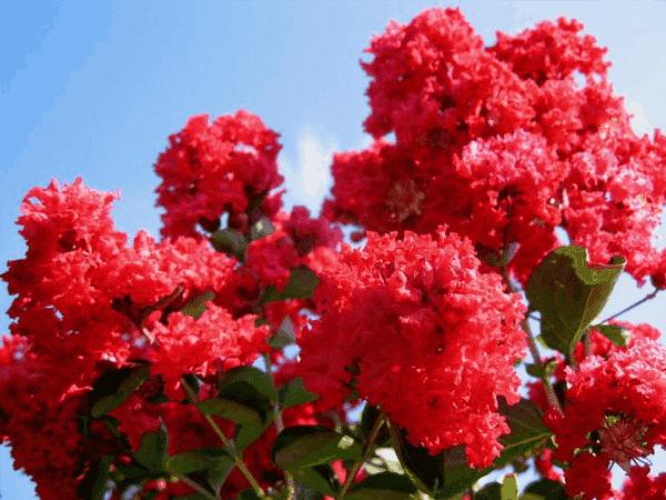 Hoa tường vi màu đỏ