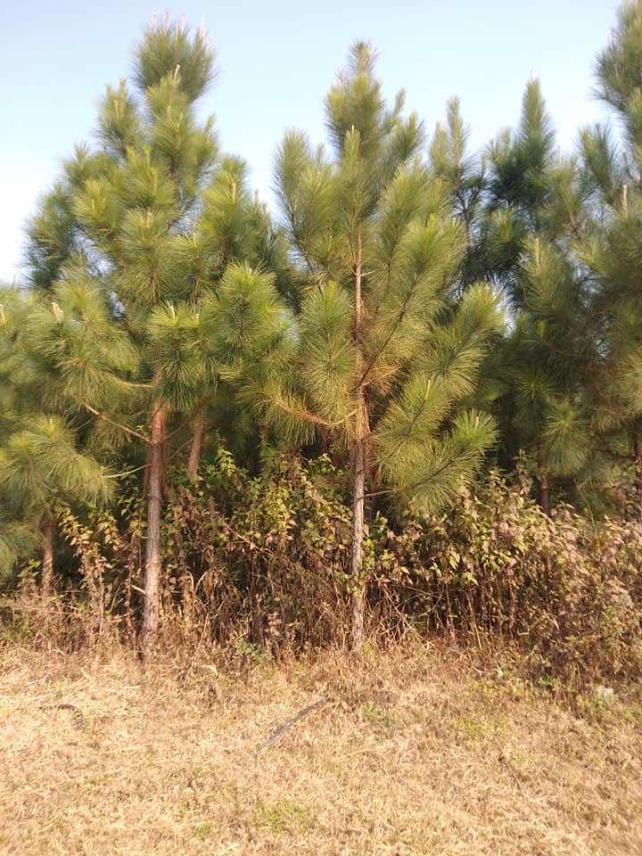 cách trồng cây thông