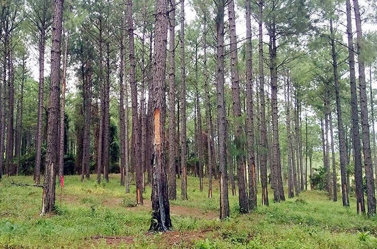 Thân cây thông