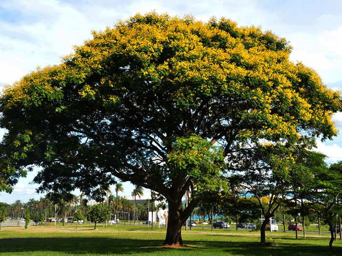 Cây diệp vàng cổ thụ có hoa