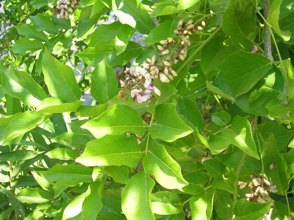 Hoa sưa nhỏ mọc ở nách lá