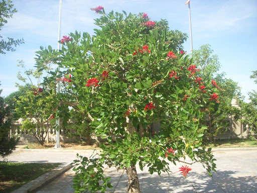 Cây osaka đỏ nở hoa