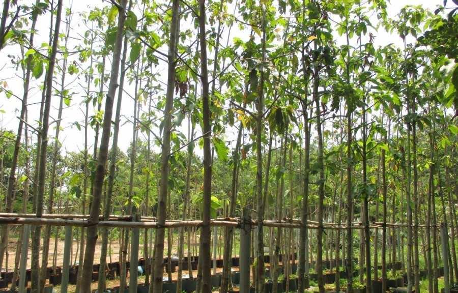Bán cây dầu rái tại vườn