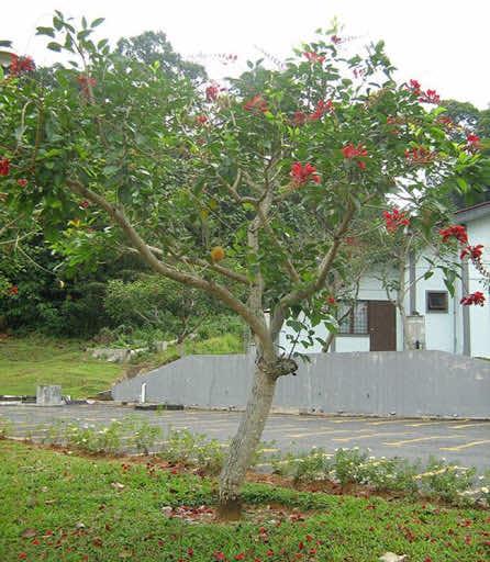Thân cây osaka đỏ