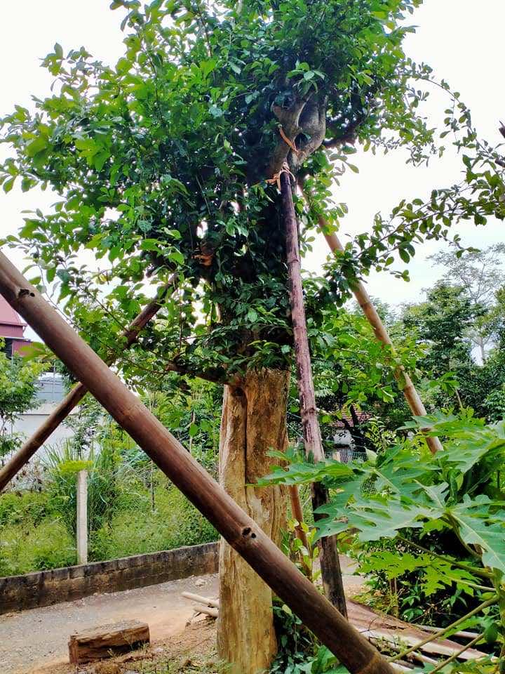 Kỹ thuật trồng cây duối