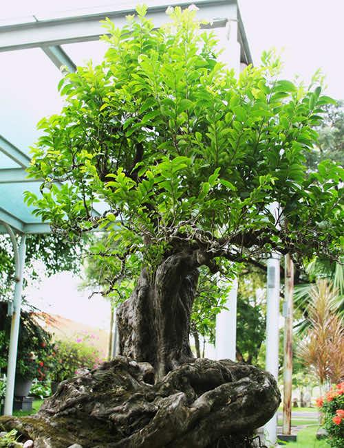 Cây thị bonsai vô cùng độc đáo
