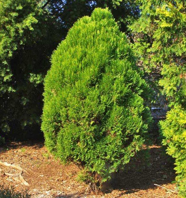 Cây trắc bách diệp tại vườn ươm