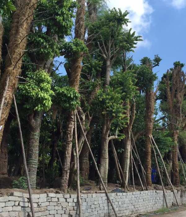 Trồng cây nhội công trình tại vườn