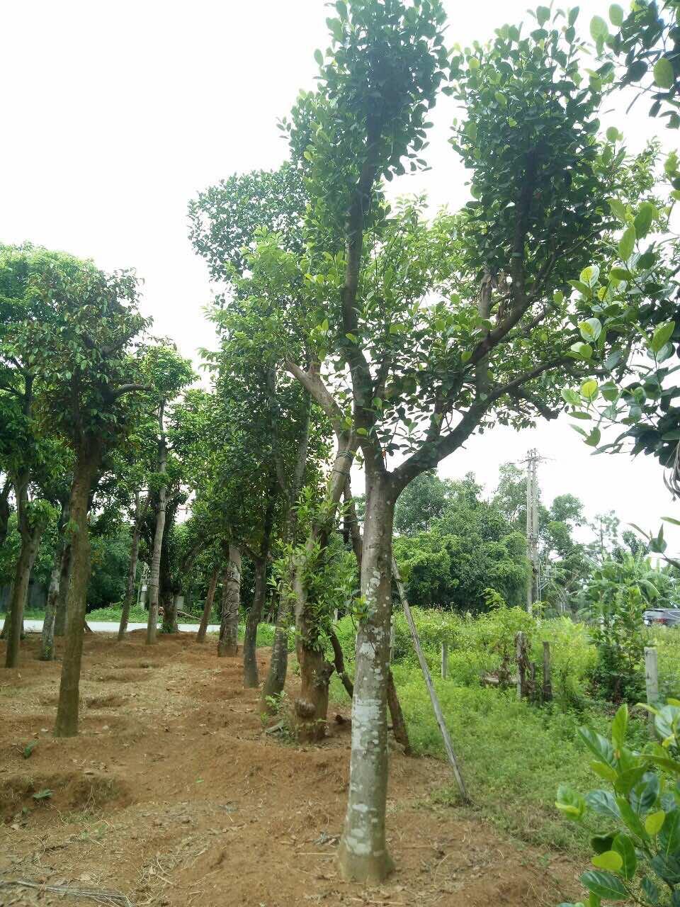 Vườn mít Cây Ba Miền