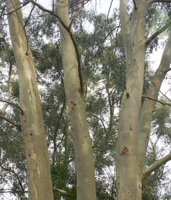 Cây bạch đàn trồng lấy gỗ