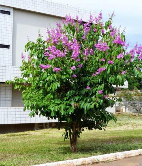Cây bằng lăng nở hoa