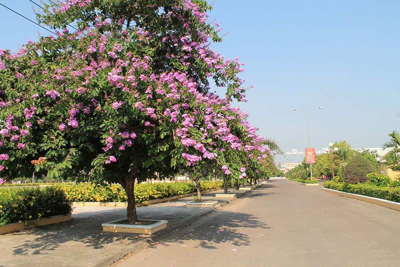 Trồng cây hoa bằng lăng tím trên các con đường