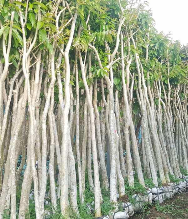 Trồng cây bằng lăng công trình tại vườn ươm