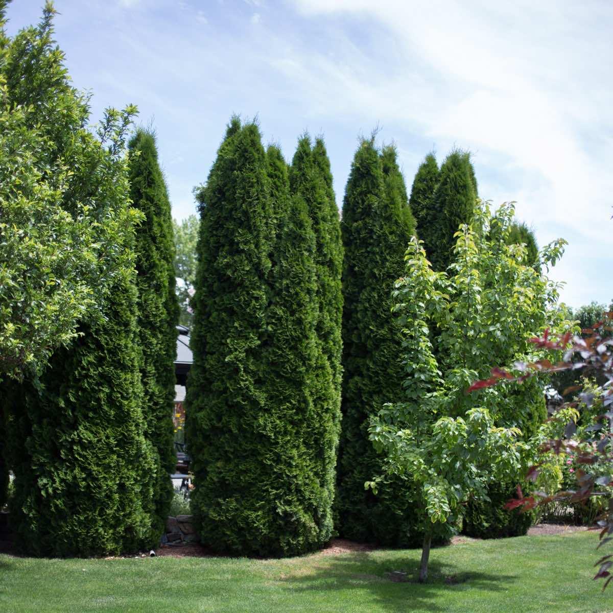 Trắc bách diệp trong các biệt thự sân vườn