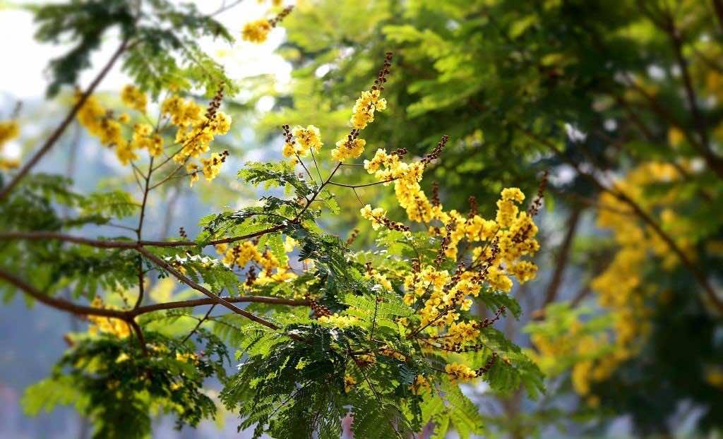 Mùa hoa điệp nở