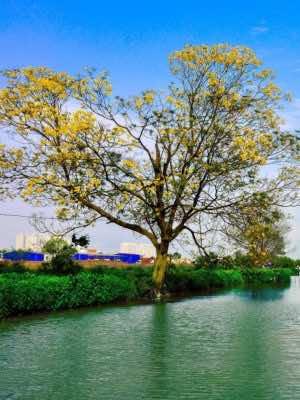 ảnh cây điệp vàng