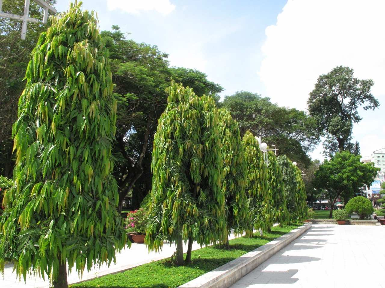 Cây hoàng nam trồng trong các công trình đường phố