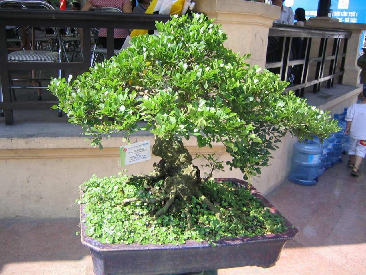 Cây ngâu cảnh bonsai