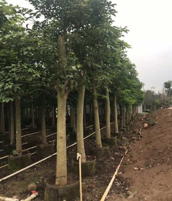 Sỉ lẻ cây nhội công trình tại vườn