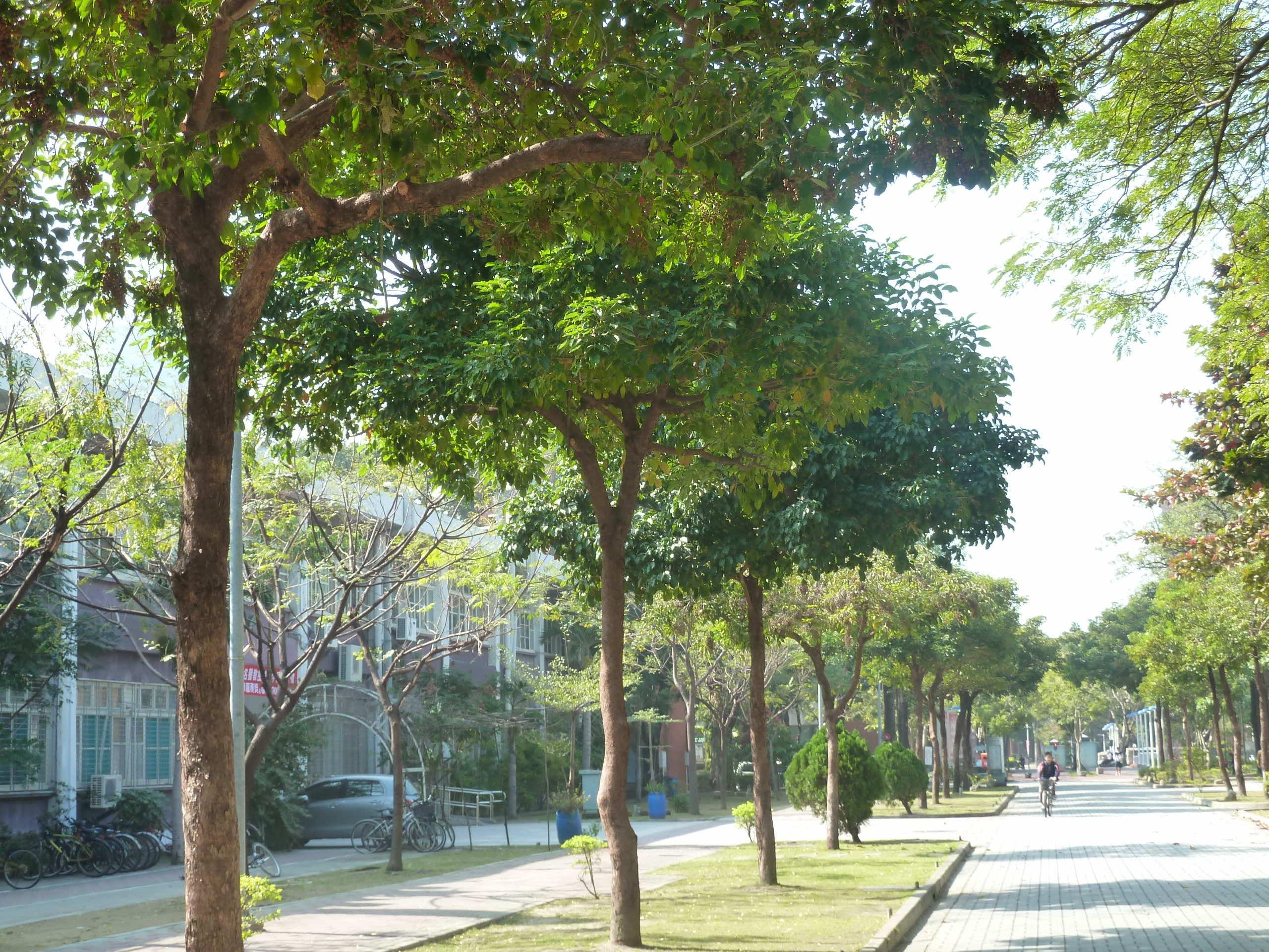 Cây nhội trồng làm cảnh quan trên đường phố