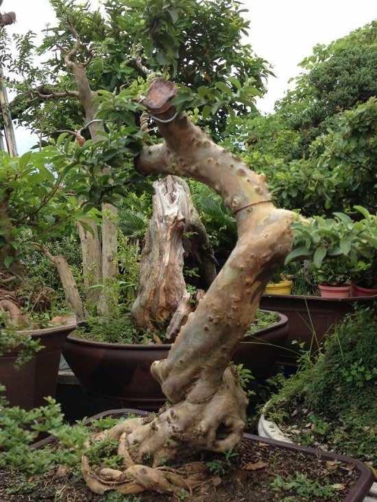 Cây ổi bonsai đẹp