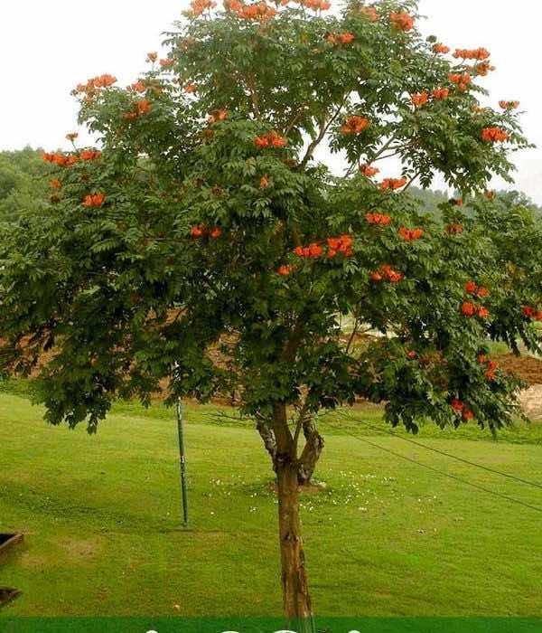 Cây chuông đỏ có hoa